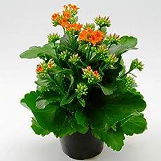 Vamsha Nature care Live kokedama kalanchoe Succulent Plant