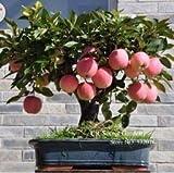 prodotto di prova semi Bonsai Melo 30 pc semi di mela (utilizzata sabbia bagnata germinazione)...