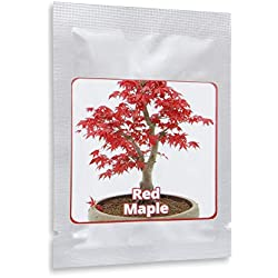 Japanischer ROTER Ahorn/Fächerahorn - ca. 20 Samen - Acer palmatum atropurpureum - Baum & Bonsai geeignet