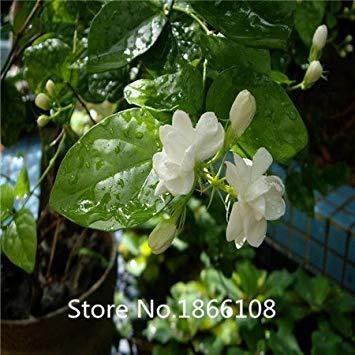 Fash Lady Haus & Garten 50 / BAG Cape Jasmin Samen, (Gardenia Jasminoides) duftenden exotischen Strauch - offen bestäuben seltenen schönen Bonsai Flow