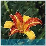 ZLKING 100 STK/Packung Hybrid Blumen Samen Hemerocallis Lily Hoch Keimungrate Indoor Bonsai Heim Garten Supplies: 8
