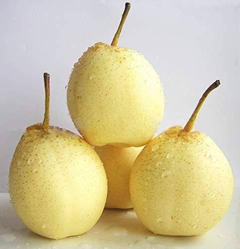 SANHOC Samen-Paket: Weiße Birne Nashi Birne Ya Birne Pearple Pyrus Bretschneideri Seeds 10 -