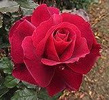 GEOPONICS TANTO AMORE - 4lt ibrida in vaso giardino di rose - Bella Profondo Rosso Fril bordate fiori, forte profumo speziato - impianto Esclusivo!