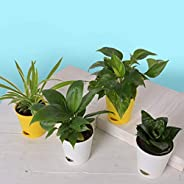 Ugaoo Indoor Air Purifier Plants - Sanseveria Green, Spider Plant, Peace Lily, Money Plant Variegated