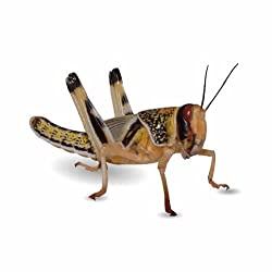 50 X-Large Locusts/Reptile Live Food/Lizard/Spider/Frog/Mantis/Ferret/Rat/Hamster