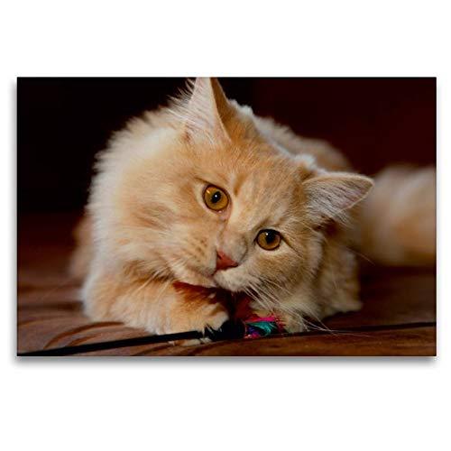 Somali-katze (Calvendo Premium Textil-Leinwand 120 cm x 80 cm quer, Sibirische Katze | Wandbild, Bild auf Keilrahmen, Fertigbild auf echter Leinwand, Leinwanddruck Tiere Tiere)