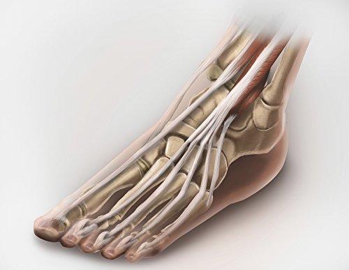 Alan Gesek/Stocktrek Images – Anterior compartment anatomy of left leg muscles and tendons. Kunstdruck (41,15 x 31,75 cm)