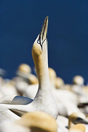 yves-marcoux-design-pics-close-up-of-gannet-parc-national-de-liile-bonaventure-et-du-rocher-perce-ga