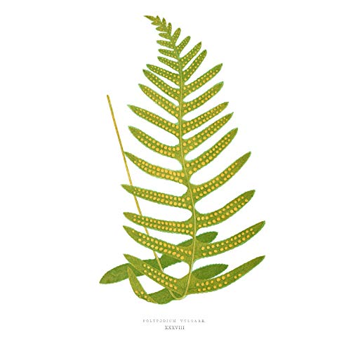 Fern Polypodium Vulgare Large Wall Art Print Canvas Premium Poster Wand