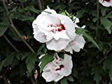 Hibiscus syriacus 'Monstrosus' - (Hibiskus - Garteneibisch 'Monstrosus')- Containerware 60-100 cm