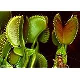 Venta CALIENTE 20PCS Semillas Planta insectívora maceta Dionaea gigante Clip atrapamoscas de Venus de Bonsai Planta para la decoración del jardín