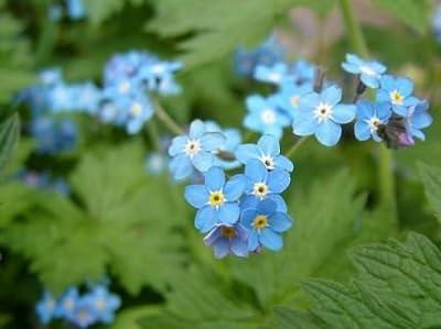 Sumpfvergissmeinnicht - Teichpflanzen Teichpflanze von ZAC Wagner bei Du und dein Garten