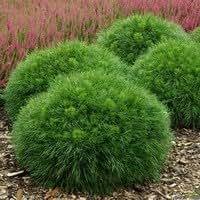 Pinus mugo 'Varella' Liter 7.5 30-40 cm
