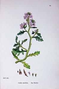 La Botanique Plante la Fleur de Maritima de Cakile de Rocket de la Mer C1902