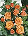 Kletterrose 'Liane' -R- A-Qualität Wurzelware von Rosen-Union bei Du und dein Garten