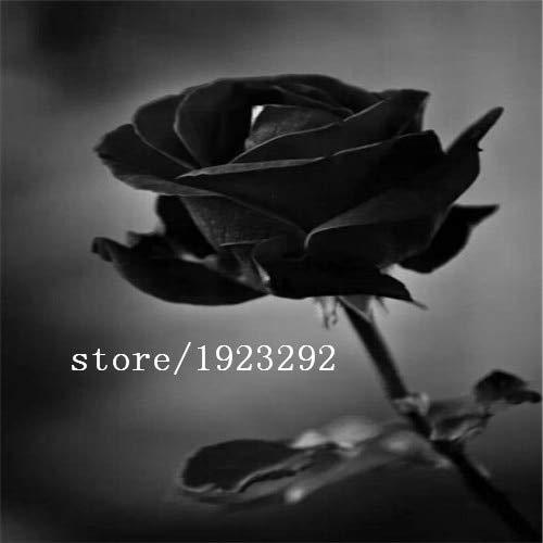 AGROBITS 100 Blue Dragon Rosa semina, bella striscia Rare cespuglio di rose pianta, giardino o fiore cortile: vendita calda