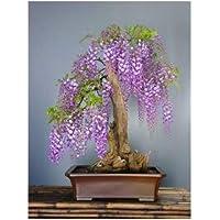TROPICA - Tree wisteria (Bolusanthus speciosus) - 15 Seeds - Bonsai