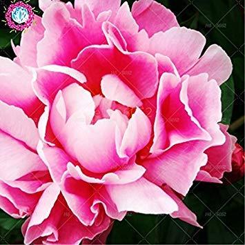 10 pcs / sac graines de pivoines fleurs doubles Heirloom Sorbet robuste pivoines graines de fleurs bonsaï pot noir graines de pivoine arbustive de plantes de jardin 2