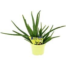 Aloe vera 'Sweet', Aloe vera barbadensis Miller, 2 Pflanzen