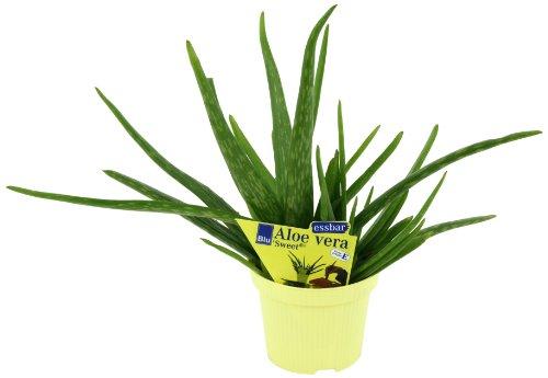 aloe-vera-sweet-aloe-vera-barbadensis-miller-2-pflanzen