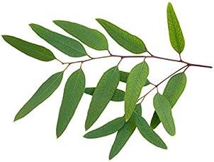 BSD Organics Medi Fresh Eucalyptus leaves for tea, steam & more - 200 gms
