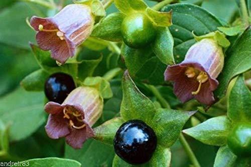 Portal Cool Belladonna Samen Atropa Black Cherry Rück Pflanze Ukraine 5 Samen S0855