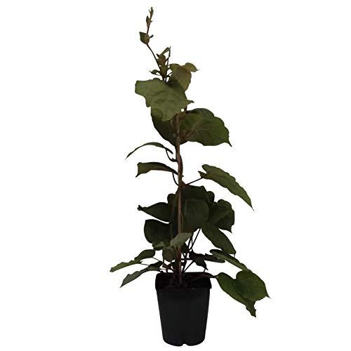 Grüner Garten Shop Hayward, weibliche Kiwipflanze 60-100 cm groß und gestäbt, kräftige Kiwi im 4-5 Liter Topf
