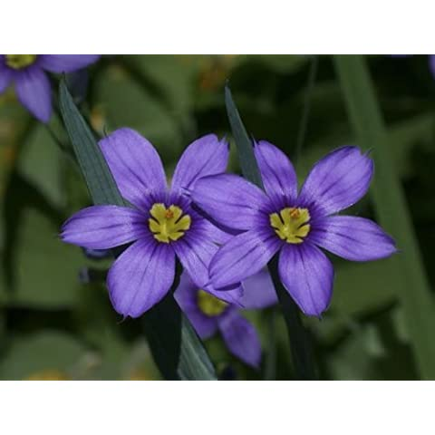 30+ Sisyrinchium Bellum Blue Eyed Grass Flower