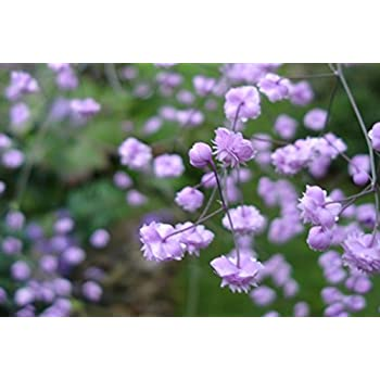 Thalictrum delavayi /'Hewitt's Double/' garden tested hardy perennial plant