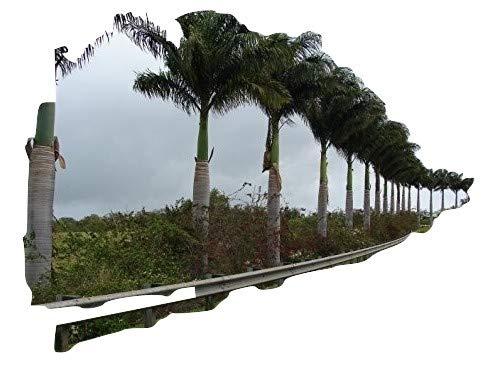 Roystonea Regia, Kubanische Königspalme, 10 frische Samen