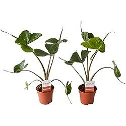 BOTANICLY   Zimmerpflanze   Alocasia Stingray   45 cm   Set aus 2 Pflanzen