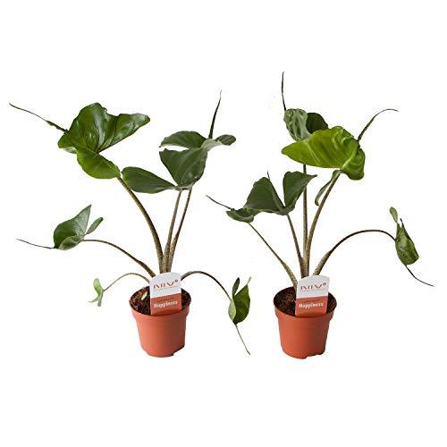 BOTANICLY | Zimmerpflanze | Alocasia Stingray | 45 cm | Set aus 2 Pflanzen