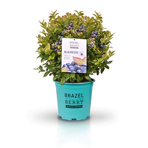 BrazelBerry - delicious & beautiful Gartenheidelbeere BrazelBerry \'Jelly Bean\' kompakte Kübelpflanze mit leckeren Beeren, Türkis