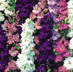 premier-seeds-direct-lar01f-delphinium-larkspur-giant-imperial-mix-seeds-pack-of-600