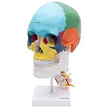 S24.2301 Crâne, modèle éducatif, sur vertèbres cervicales, 4 pièces