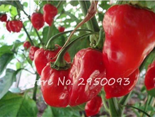 New Hot Chili Reaper Bonsai pot extérieur légumes arc-en-Pepper pour jardin 1000 pièces/ing sac rouge 5 (SEULEMENT) GRAINES