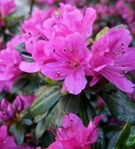 Rhododendron obtusum im Container 20 - 25 cm