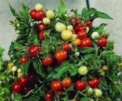 just-seed-tomato-micro-tom-12-seed-ideal-for-patio