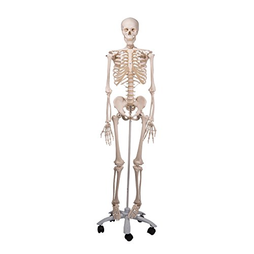 3B Scientific Standard-Skelett auf 5-Fuß-Rollenstativ (Skelett Stan)