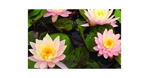Waterlily der beste preis amazon in savemoney.es