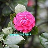 Bloom Green Co. Rose Red Kamelie Samen Topfpflanzen Dachterrasse Garten Blumensamen Topf Bonsai-Baum Gemeinsame Camellia Samen 100PCS: 3