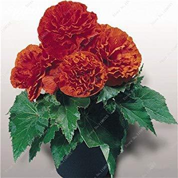 120 Pcs Belle Graines mixte Begonia Rare Rose Garden Rieger fleurs en pot Bonsai Balcon Cour plantez des graines sèches Begonia 12