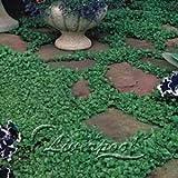 100 Dichondra repens semi prato Preferiti di farfalle e api utili fanno le piante semi di fiori
