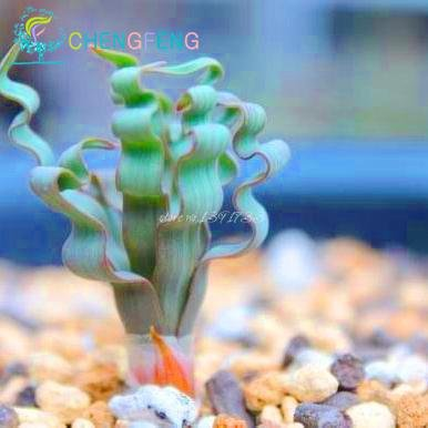 200pcs / sac cactus nature plantes larges graines ressort à lames d'herbe succulentes nouvelles plantes mini-bonsaï en pot pour les jardins d'ornement en pot