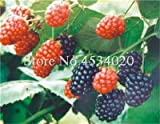 SANHOC Le Piante di gelso Bonsai Dolce Black Berry giganti Miracolo Frutta pianta Tohum Rare Albero Bonsai Garden Bush Giardino Domestico di DIY 100 Pz: 22