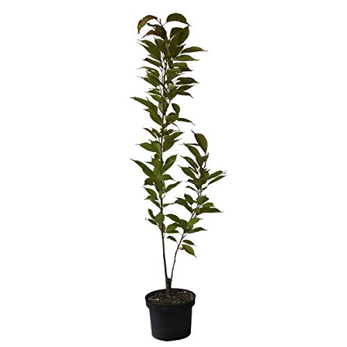 OBI Solitärpflanze, Ziergehölze