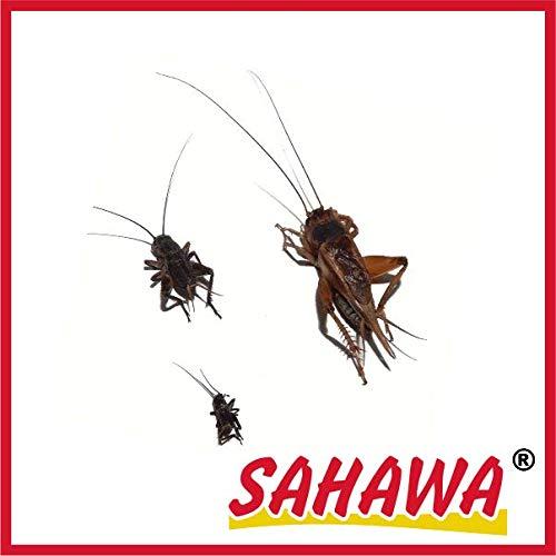 SAHAWA Lebendfutter Grillen groß 2X 20 Stück in spezieller Winterverpackung + Geschenk gratis, lebende Futtertiere, Reptilienfutter, Heuschrecken, Heimchen, Grillen - Große Grillen