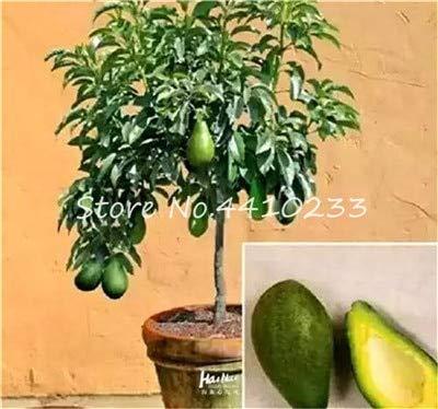 bloom green co. saldi ! 5 pz bonsai avocado delicious dolce albero da frutto facile da coltivare per la verdura giardino della casa biologica in vaso della pianta del regalo per i bambini: f