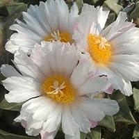 Ariocarpus furfuraceus rostratus - 10 semi