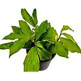 Classic Insulin Plant - Costus Igneus